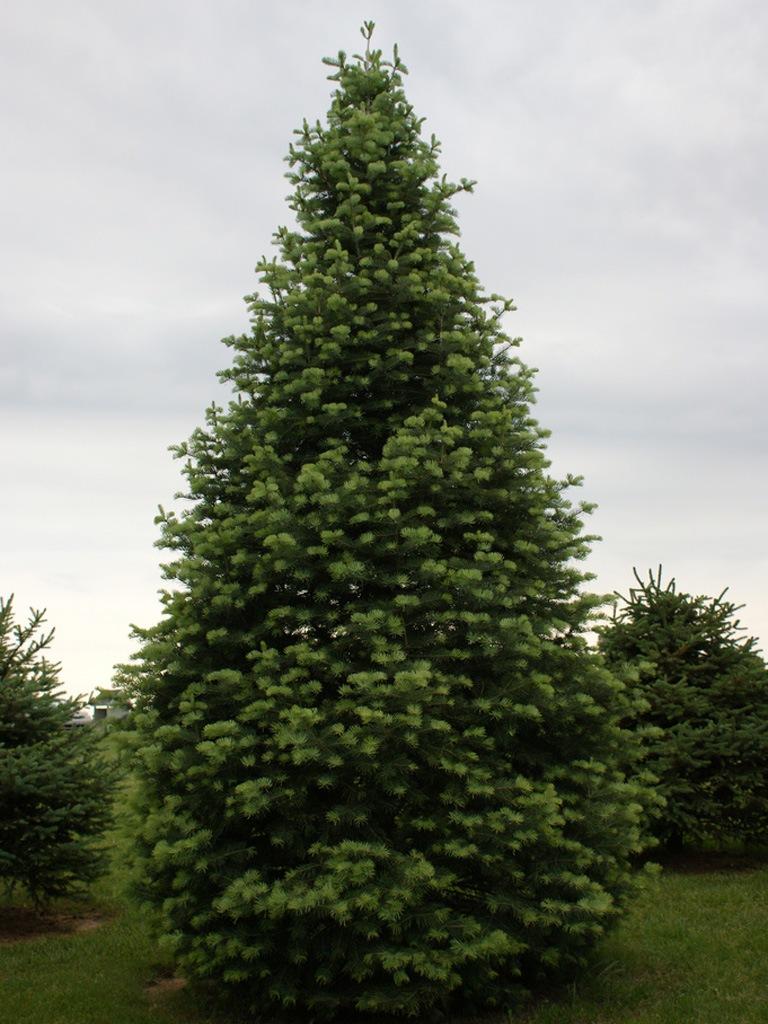 Самое большое дерево России